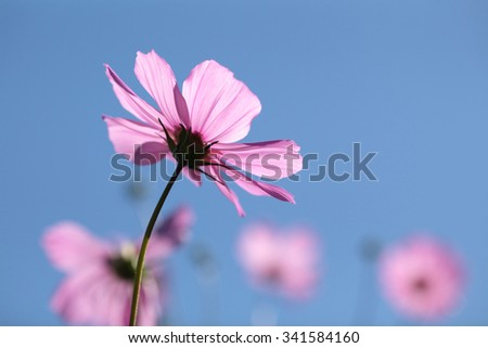 Backlit soft-focus daisies and tiny depth of field - stock photo