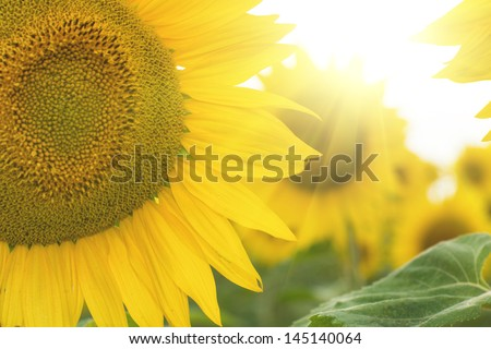 Backlit sunflowers with sun flare - stock photo