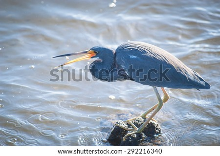 Backlit Tricolored Heron standin on rocks in the water, flipping a minnow it just caught into its beak - stock photo