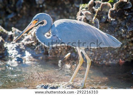 Backlit Tricolored Heron standing on a rock searching for food on a cool, fall morning - stock photo