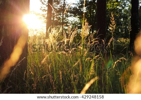 Backlit wheat grass in a forest, low sunset light - stock photo