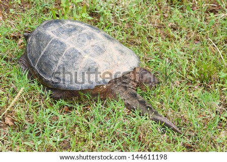 Backside of a large snapping turtle, native to Oklahoma - stock photo