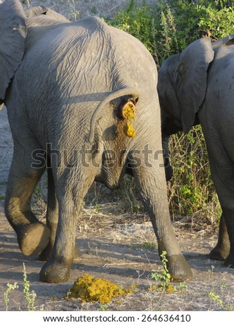 backside of an elephant while crapping - stock photo