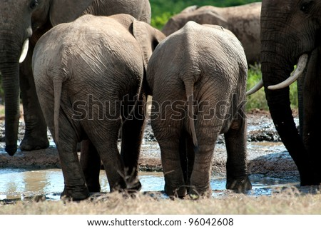 backside of baby elephants at a waterhole - stock photo