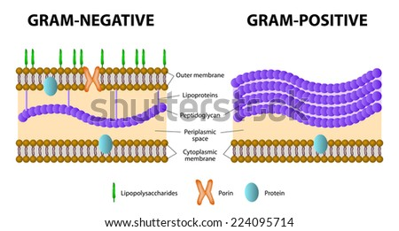 Gram-negative Stock Images, Royalty-Free Images & Vectors ...
