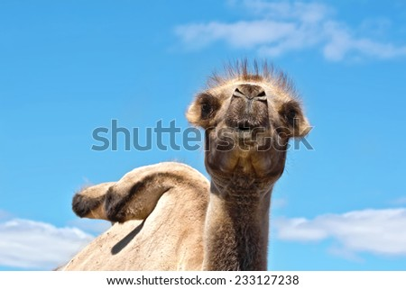Bactrian camel brown on a background of blue sky and white clouds