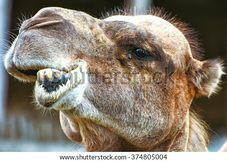 Bactrian camel (Camelus bactrianus) closeup crazy portrait. Humorous scene. Animal face. - stock photo
