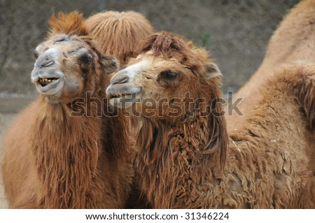 Bactrian Camel Couple