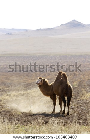 Bactrian camel in Mongolian steppes, Central Mongolia
