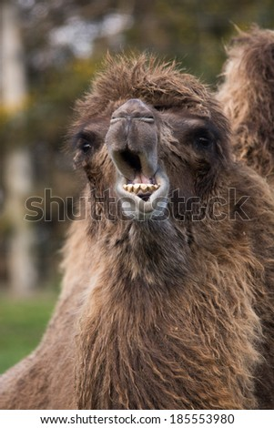 Bactrian camel isolated chewing grass - stock photo