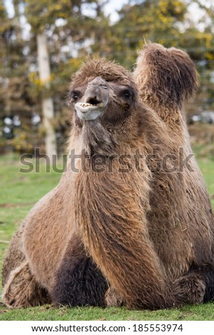 Bactrian camel isolated lying down - stock photo