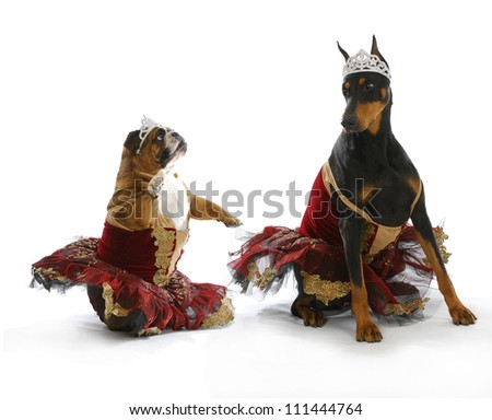 bad ballerinas - english bulldog and doberman pinscher dressed up like ballerinas on white background - stock photo