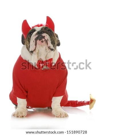 bad dog - english bulldog dressed up like a devil isolated on white background - stock photo