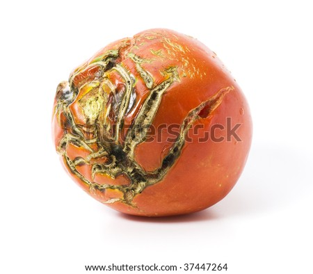 Bad tomato with scars isolated on white - stock photo