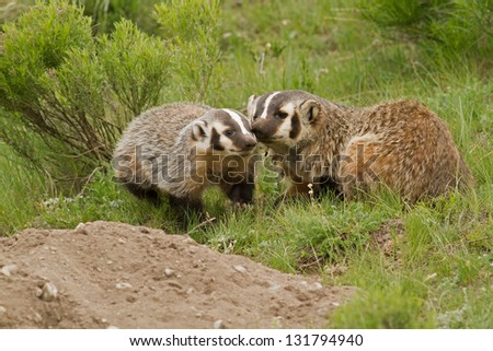 Badger Mom and Kit - stock photo