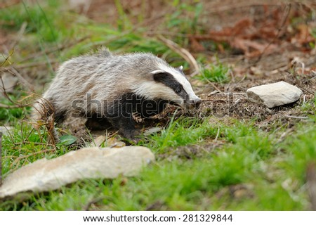 Badger near its burrow in the summer forest - stock photo