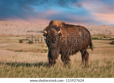 Badlands American Bison Bull (Bison bison) - stock photo