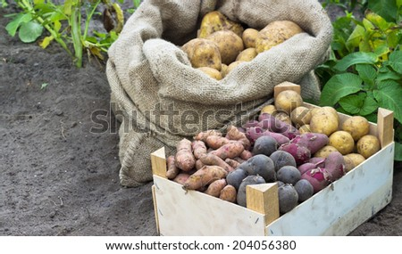 Bag and box with fresh, yellow potatoes/potatoes/Potato varieties - stock photo