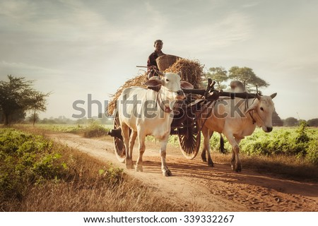 BAGAN, MYANMAR - DEC 27, 2014: Burmese rural man driving wooden cart with hay on dusty road drawn by two white buffaloes. Rural landscape and traditional village life in Burma countryside