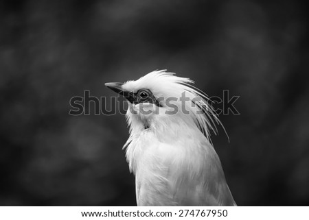 Bail Mynah Bird Close Up in Black and White with Blur Grey Background - stock photo