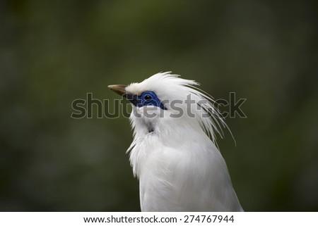 Bail Mynah Bird Close Up with Blur Green Background - stock photo