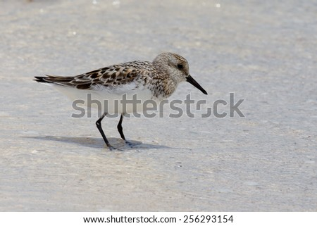 Baird's sandpiper standing in shallow water on beach on Holbox Island, Mexico