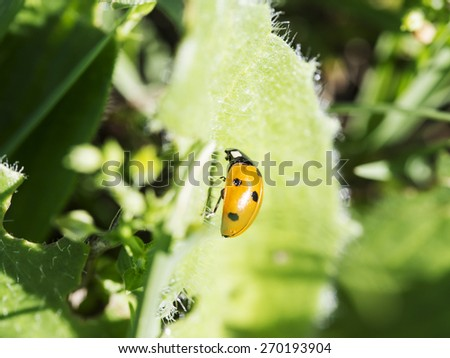 Baked In The Morning Sun - a yellow lady bug stops on leave