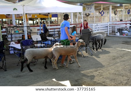 BAKERSFIELD, CA - SEP 25: Preparations are made for showing sheep at the Kern County Fair on September 25, 2009, in Bakersfield, California