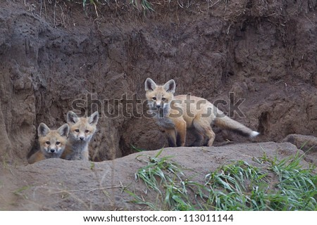 Bakken Formation Wildlife; Red Fox pups at  their den in the prairie habitat of western North Dakota, where the oil boom has led to rapid industrial development, causing environmental concerns - stock photo