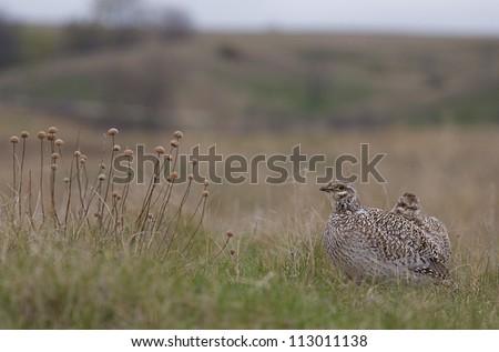 Bakken Formation Wildlife; Sharp-tailed Grouse in prairie habitat of the Bakken Formation, in western North Dakota, where the oil boom has led to rapid development, causing environmental concerns - stock photo