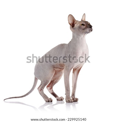 Bald cat. Cat of breed sphinx. Naked cat. A kitten without wool. - stock photo
