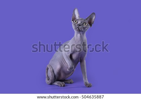 bald cat on a blue background