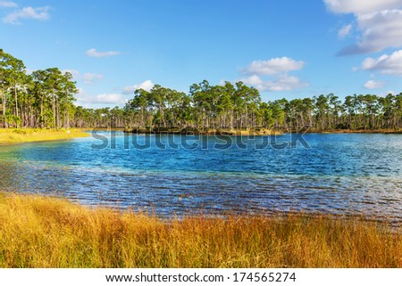 Bald Cypress Trees  in a florida swamp - stock photo