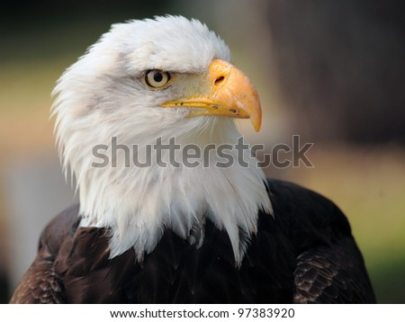 bald eagle - stock photo