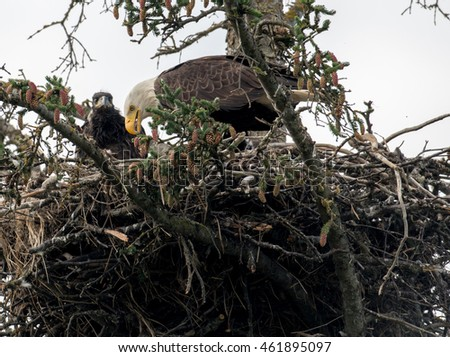 Bald eagle adult and chick in nest near Homer, Alaska