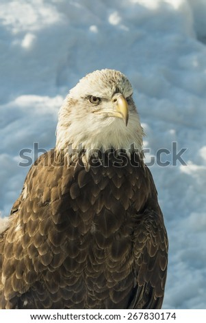 Bald eagle and snow - stock photo