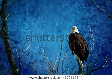 Bald Eagle Blues Into The Night. American Bald Eagle on a blue textured background.   - stock photo