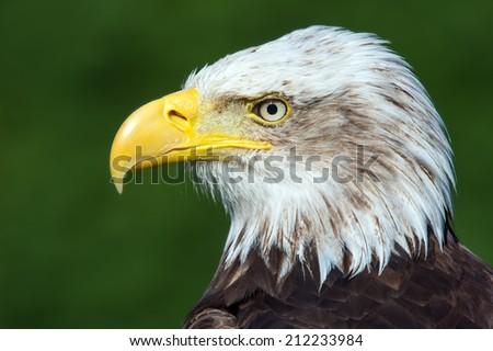 Bald Eagle close up against a vibrant green background/Bald Eagle/Bald Eagle (haliaeetus leucocephalus) - stock photo