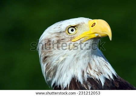 Bald Eagle close up against a vibrant green background/Bald Eagle/Bald Eagle (haliaeetus leucocephalus)
