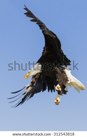 Bald Eagle coming in. A magnificent bald eagle strike an impressive pose as it descends through the air. - stock photo