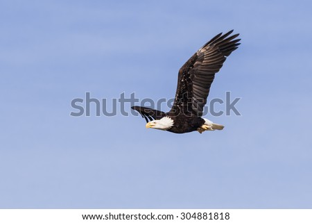 Bald eagle cutting through the sky. A majestic bald eagle holds its wings aloft as it cuts through a blue sky.
