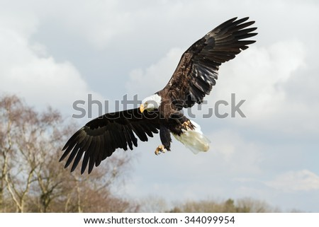 Bald Eagle descending. A magnificent bald eagle comes down from the sky. - stock photo