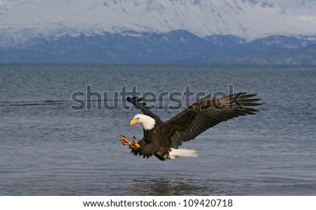 Bald Eagle descending on prey. - stock photo