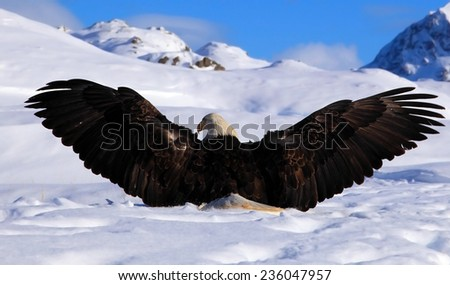 Bald eagle extending its wings