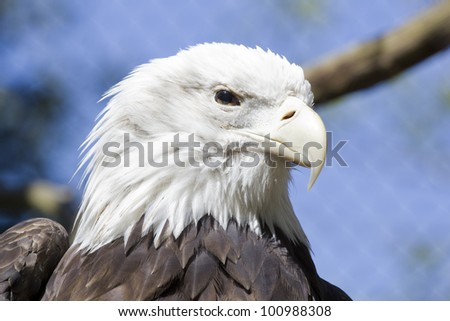 Bald Eagle Face