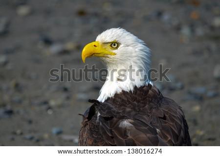 Bald Eagle facing left on rocky beach in Alaska. - stock photo