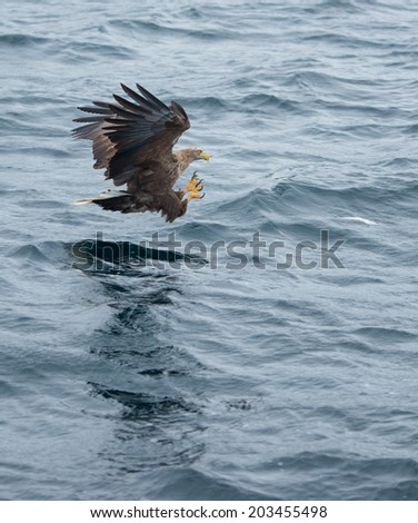 Bald Eagle fishing in the norwegian sea, Lofoten Islands, Norway - stock photo