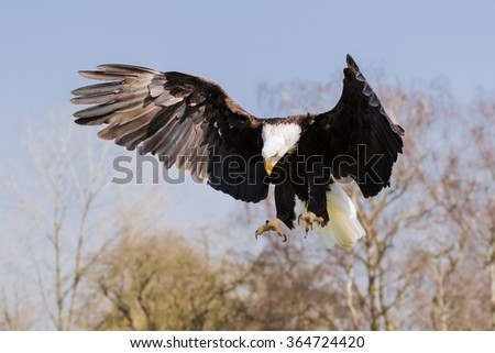 Bald Eagle fixed on the target. A majestic bald eagle has its eyes firmly fixed on its target and its talons ready to make a grab. - stock photo