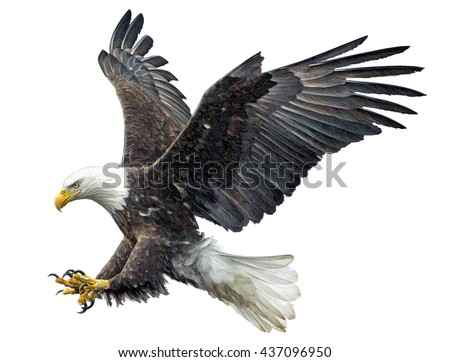 Bald eagle fly landing hand draw and paint on white background illustration.
