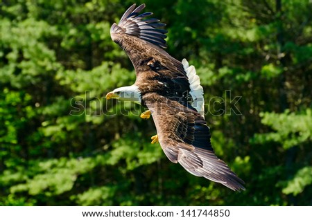Bald Eagle flying - stock photo
